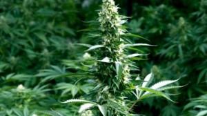 Helsińska Fundacja Praw Człowieka rekomenduje marihuanę, jako lek do walki z bólem, haszysz.info