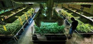 Przemysł tytoniowy, farmaceutyczny i alkoholowy planuje wejść w branże marihuany , haszysz.info