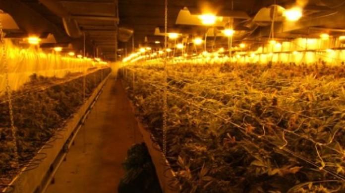 Największa Plantacja Marihuany w Polsce, haszysz.info