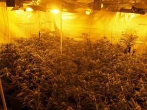 marihuana-6321
