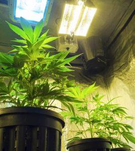 Środowisko roślin marihuany: Światło, wilgotność, nawadnianie, haszysz.info