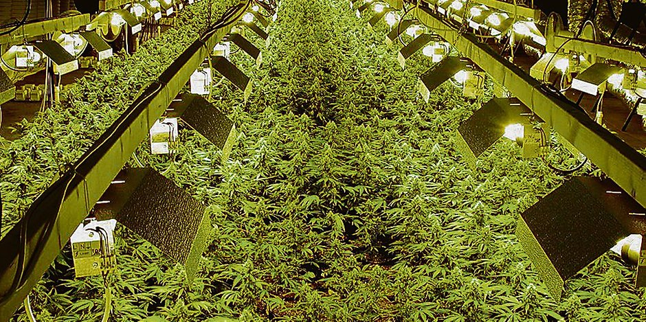 ABC uprawy indoor, haszysz.info