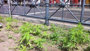 Setki roślin cannabisu znalezione w dzielnicy Berlina Kreuzberg, haszysz.info
