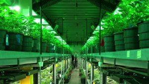 Ameryka Północna: Przemysł cannabisowy się rozwija i obawia się Trumpa, haszysz.info