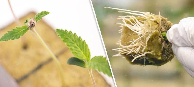 Wszystko Na Temat Siewek (Sadzonek) Rośliny Marihuany, haszysz.info