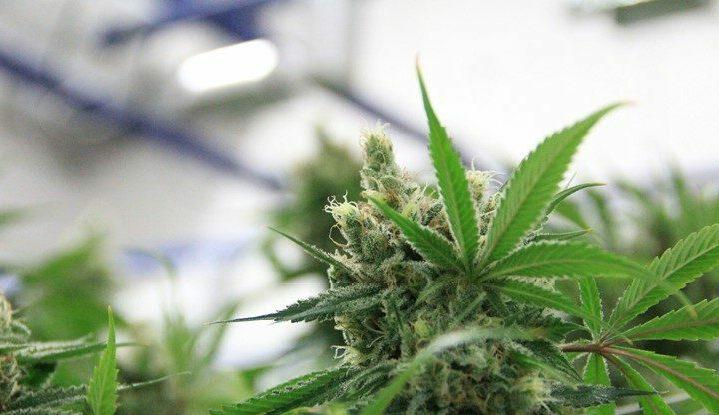 Uzależnienie od Marihuany a Jej Nadużywanie, haszysz.info