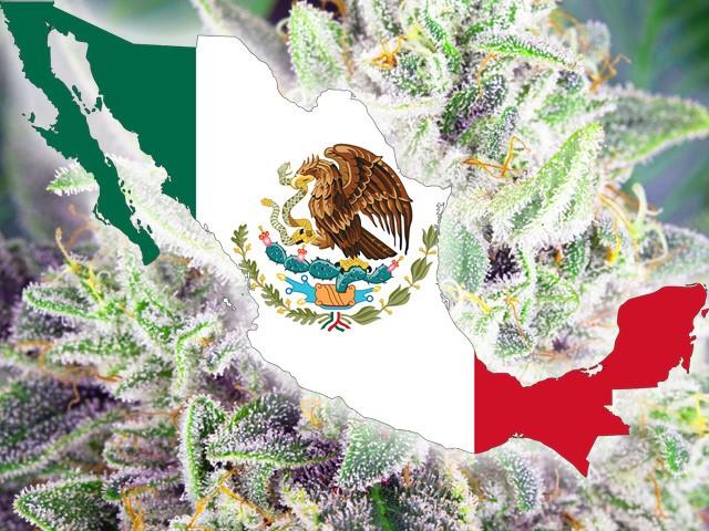 Meksyk Legalizuje Marihuanę, haszysz.info