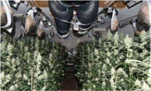 Prawie 4000 roślin: ogromna plantacja marihuany w willi nieopodal Frankfurtu nad Menem, haszysz.info