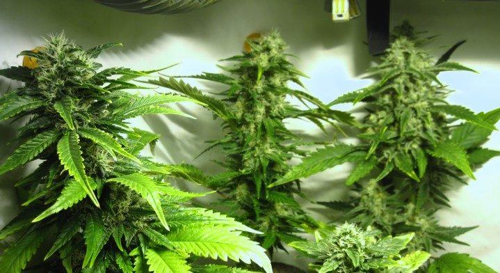 W Nigrze Skonfiskowano 17 Ton Cannabisu, haszysz.info